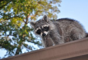 raccoon on a gutter